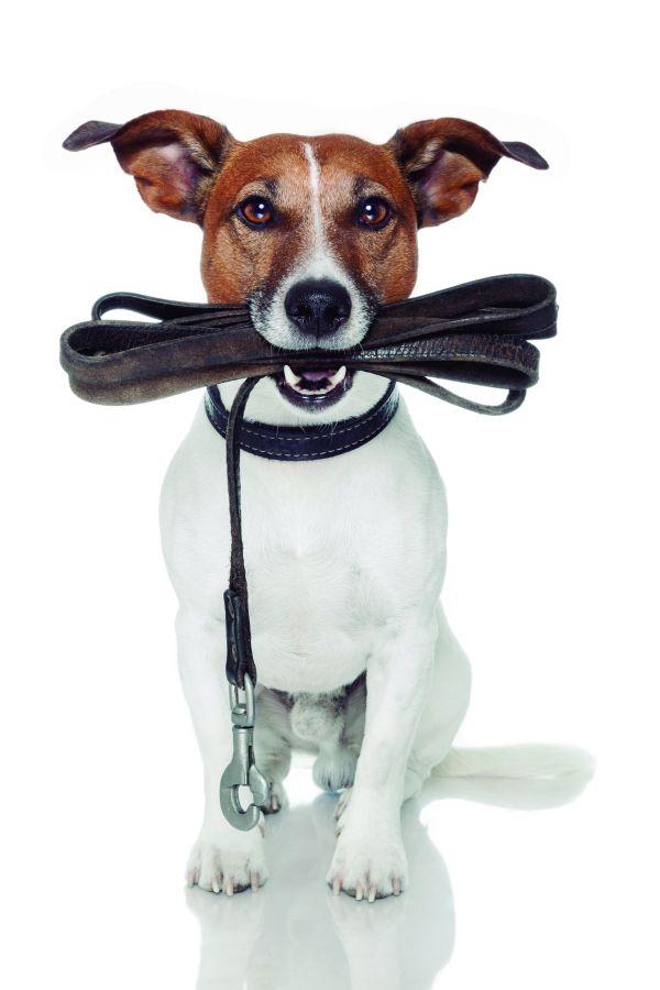 perro-tirones-correa-pozikan